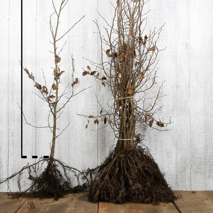 Carpinus betulus met blote wortel