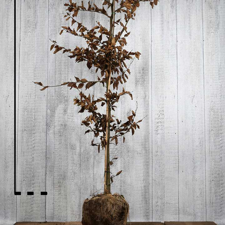 Carpinus betulus met kluit