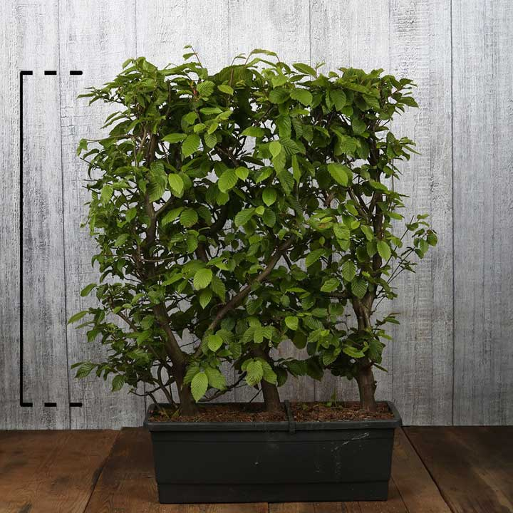 Carpinus betulus in pot