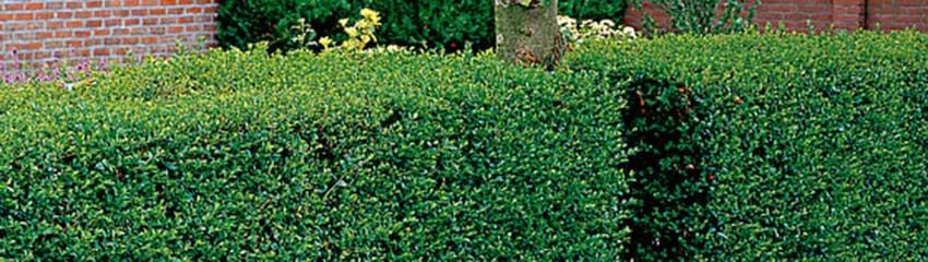 Haagliguster als haagplant