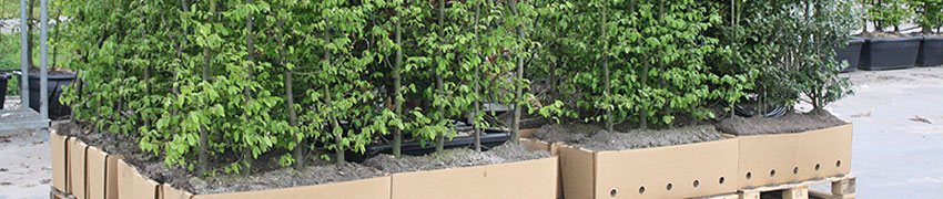 Haagplant kwekerij
