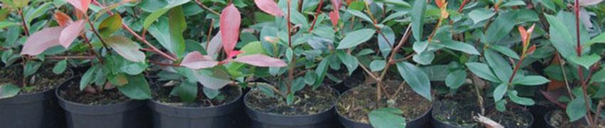 Haagplanten in pot kopen