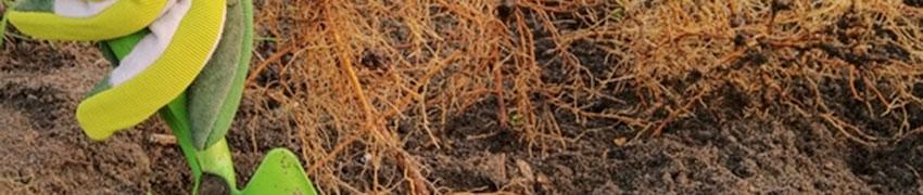 Haagplanten met blote wortels