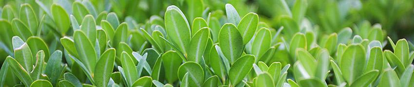Haagplanten als tuinafscheiding