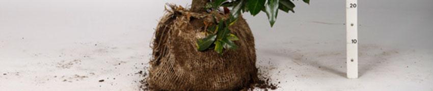 Een haag planten met kluit planten