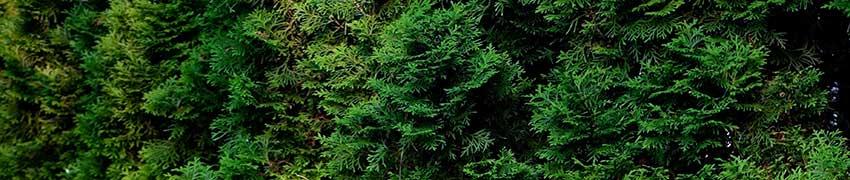Hoe wordt de coniferenhaag gesnoeid?