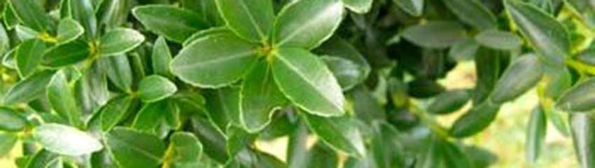Ilex maximowicziana 'Kanehirae' verzorgen en snoeien