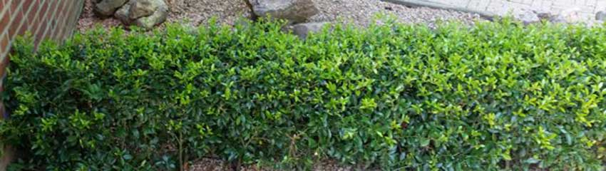 Ilex maximowicziana 'Kanehirae': een veelzijdige haagplant