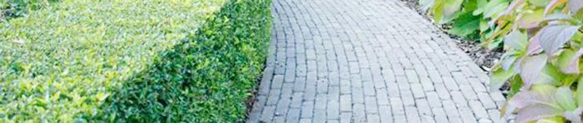 De Japanse hulst is een aanwinst voor uw tuin