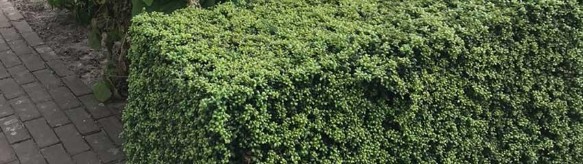 Japanse hulst 'Convexa' op Haagplanten.net