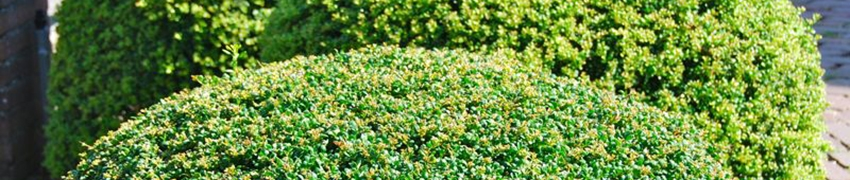 Japanse hulst snoeien en verzorgen