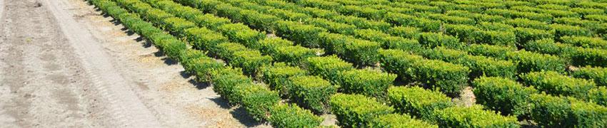 Kant-en-klaar hagen planten: de voordelen