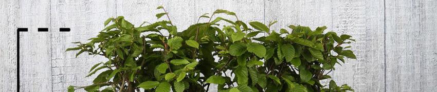 Kant-en-klare haagbeukenhaag planten