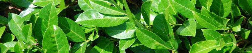 Klassieke haagplanten