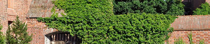 Klimop als haagplant