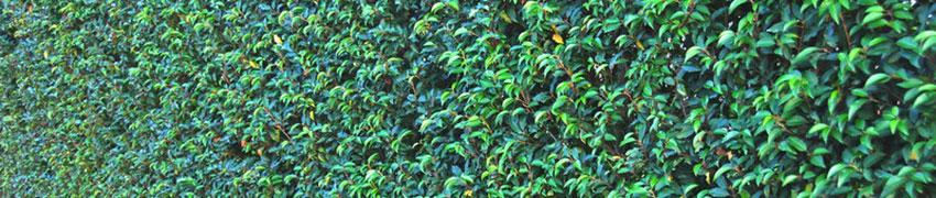 Laurierhaag op Haagplanten.net