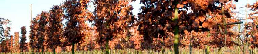 Leibomen op Haagplanten.net