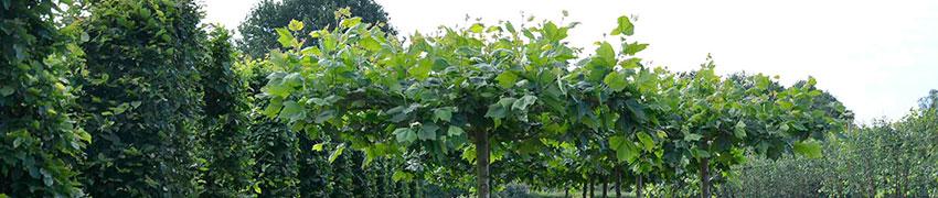 Leibomen planten: hoe?