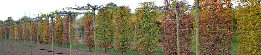 Leibomen planten