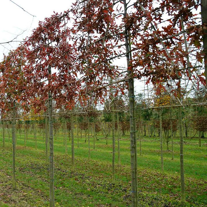 Leibomen Quercus palustris