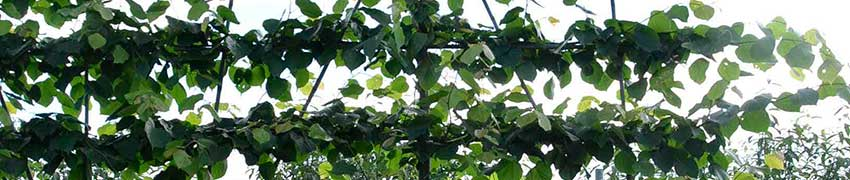 Leibomen soorten