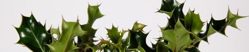 Waar u verder op moet letten bij hulst planten