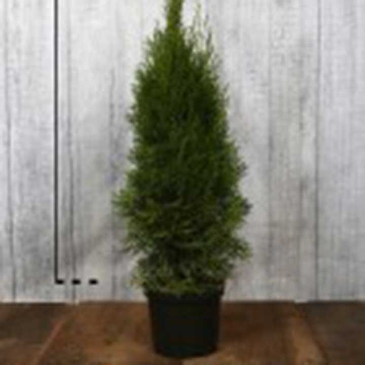 Levensboom in pot