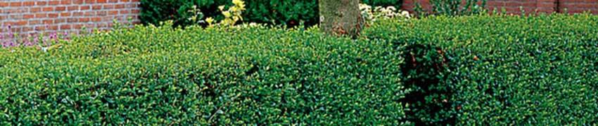 Ligusterhaag planten
