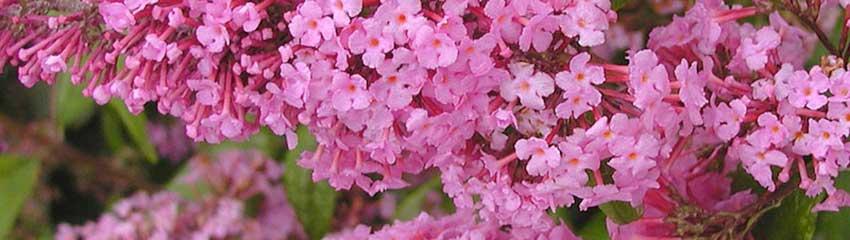 Onderhoudsarme bloeiende hagen