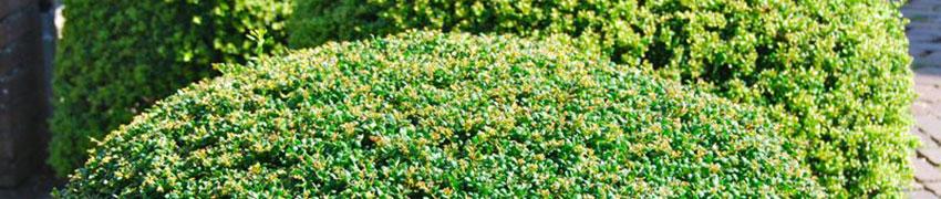 Extra planttips voor de Japanse hulst