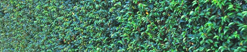 Portugese laurier: wat voor haagplant is dat?