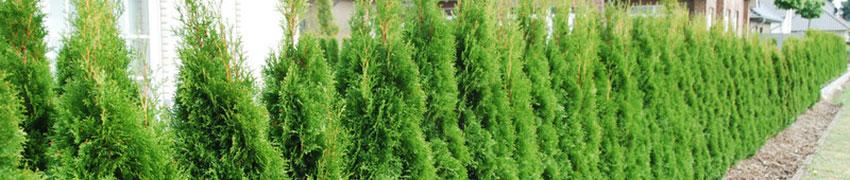 Thuja planten: waar moet ik rekening mee houden