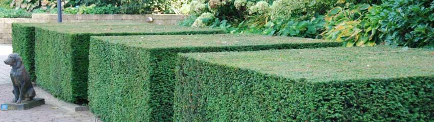 Taxus makkelijke coniferenhaag