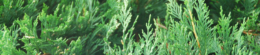 Thuja plicata planten