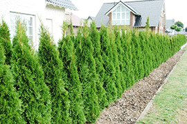 Thuja Occidentalis Haag