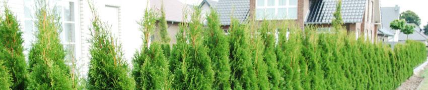Thujahaag planten en verzorgen
