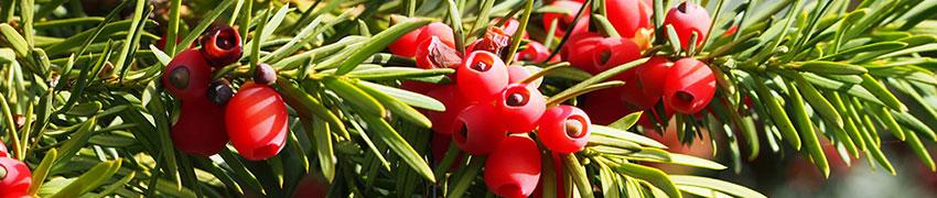Verschillende soorten coniferenhaag