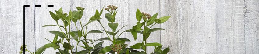Viburnum op Haagplanten.net