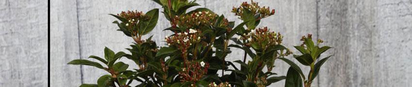 Viburnum planten en snoeien