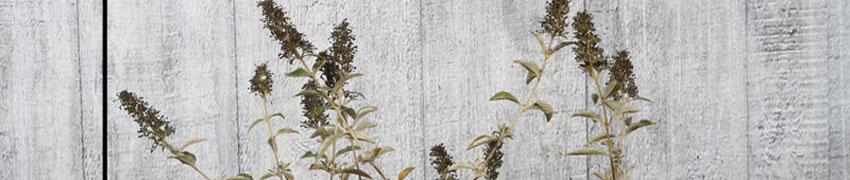 Vlinderstruik op Haagplanten.net