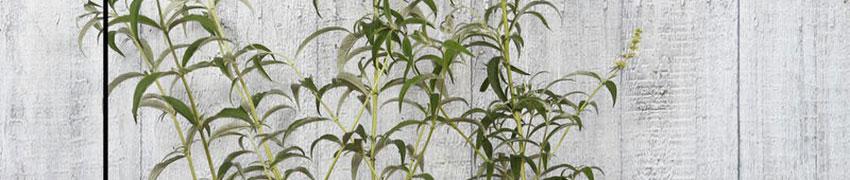 Vlinderstruik planten: hoe werkt het?