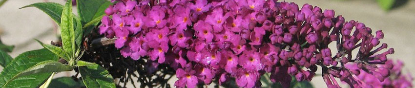 Vlinderstruik planten