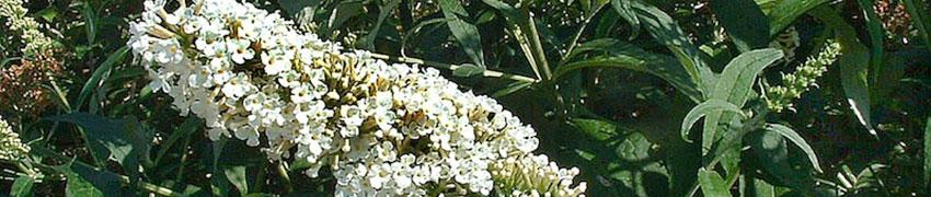 Vlinderstruik in de tuin