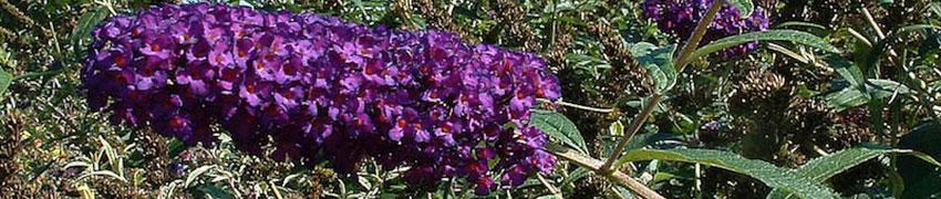 Vlinderstruikhaag