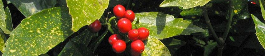 Voordelen van inheemse hagen - Japanse broodboom