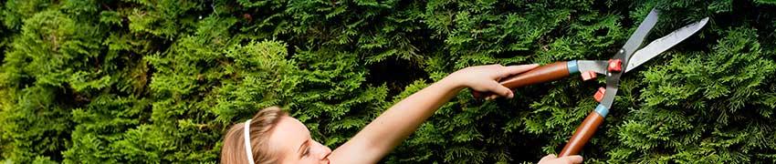 Wanneer wordt de coniferenhaag gesnoeid?