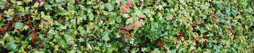 Wintergroene haagplanten uit West-Europa Meidoorn