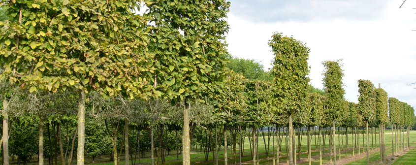 Leibomenvormbomen-vers-geleid