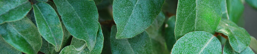 olijfwilg perfecte haagplant kust