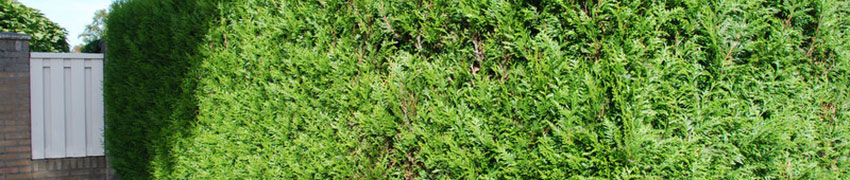 Online snelgroeiende haagplanten kopen